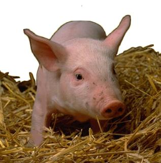 Réponse Petite Annonce N°4367 Cochon